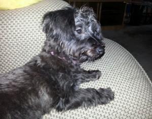 lulu, poodle, yorkshire terrier, yorki-poo, puppy, dog, baby, fur babies, adorable, spunky, lynne st. james