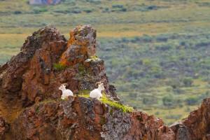 denali national park, dall sheep, sheep, alaska, bucket list, michael deyoung,