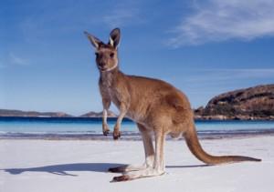 kangaroo, animals, australia, native,