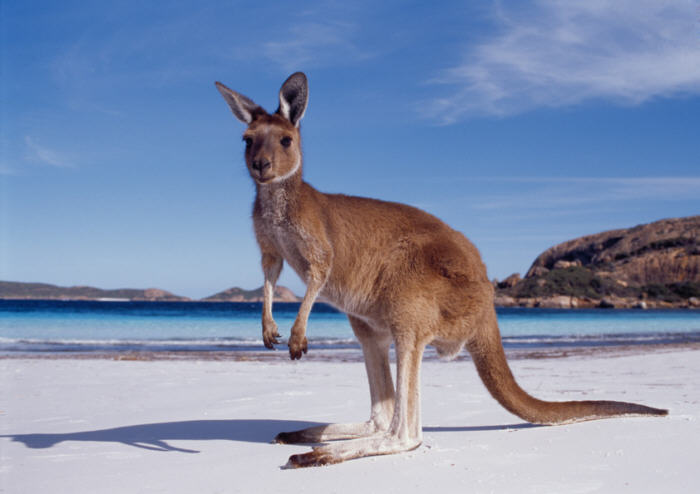 kangaroo, animals, australia, native,