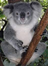 koala bear, koala, australia, bucket list, lynne st. james